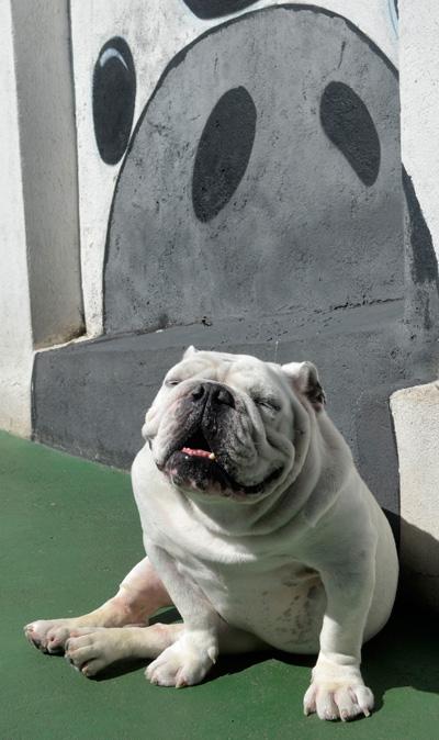Férias Hotel para Cachorros - Amigos do Zorikão